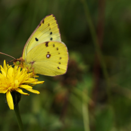 yellow butterfly, Sony SLT-A57, Tamron SP 90mm F2.8 Di Macro 1:1 USD