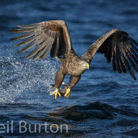 White-tailed eagle in Norway, Canon EOS-1D X, Canon EF 200-400mm f/4L IS USM