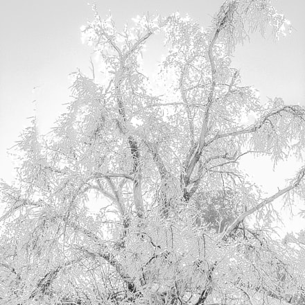 Ice Tree Frosted on, Canon POWERSHOT SD110