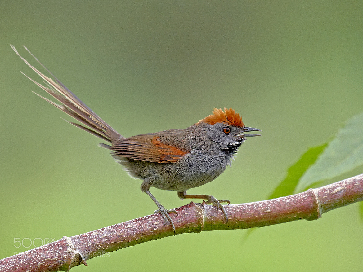 Photograph joão-teneném (Synallaxis spixi Sclater) Spix's Spinetail by Claudio Lopes on 500px