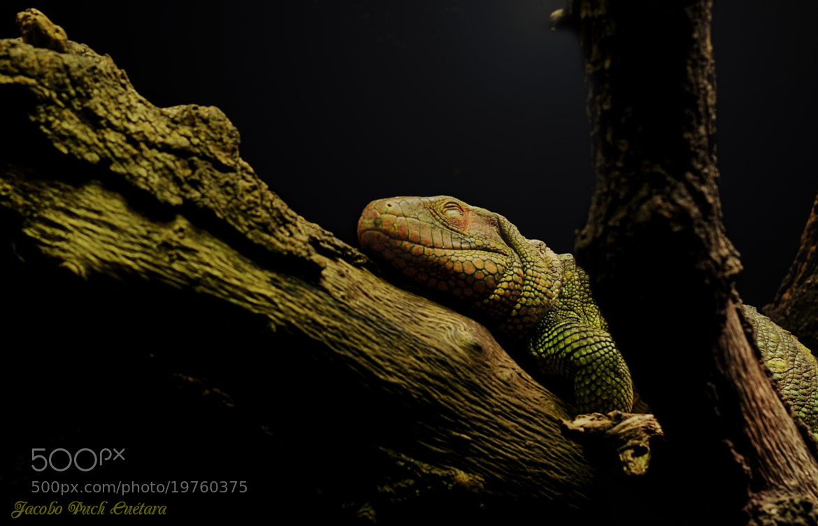 Photograph Sleeping lizard by JACOBO PUCH on 500px