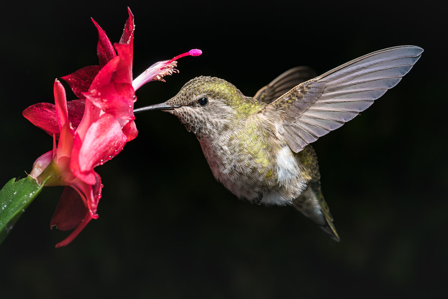 Hummingbird and red flower with dark background by nature photographer William Lee on 500px.com