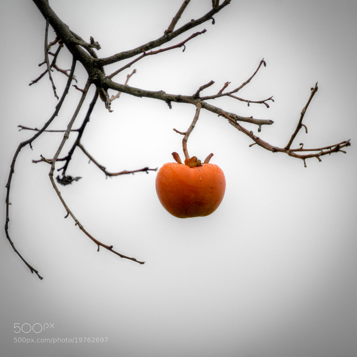 Photograph Japanese persimmon by Max G on 500px