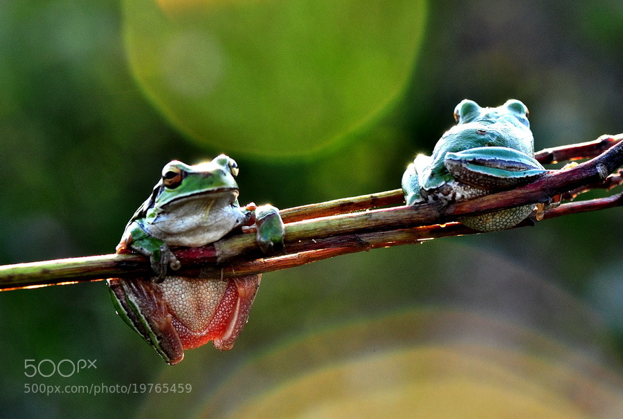 Photograph Mr frog and mis frog by yilmaz uslu on 500px