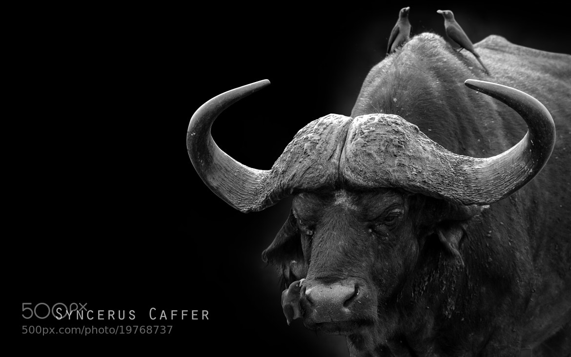 Photograph The Ox And The Pecker by Omer Nave on 500px