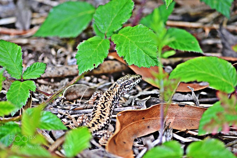 Photograph Little lizard by Iñaki  Sáez on 500px