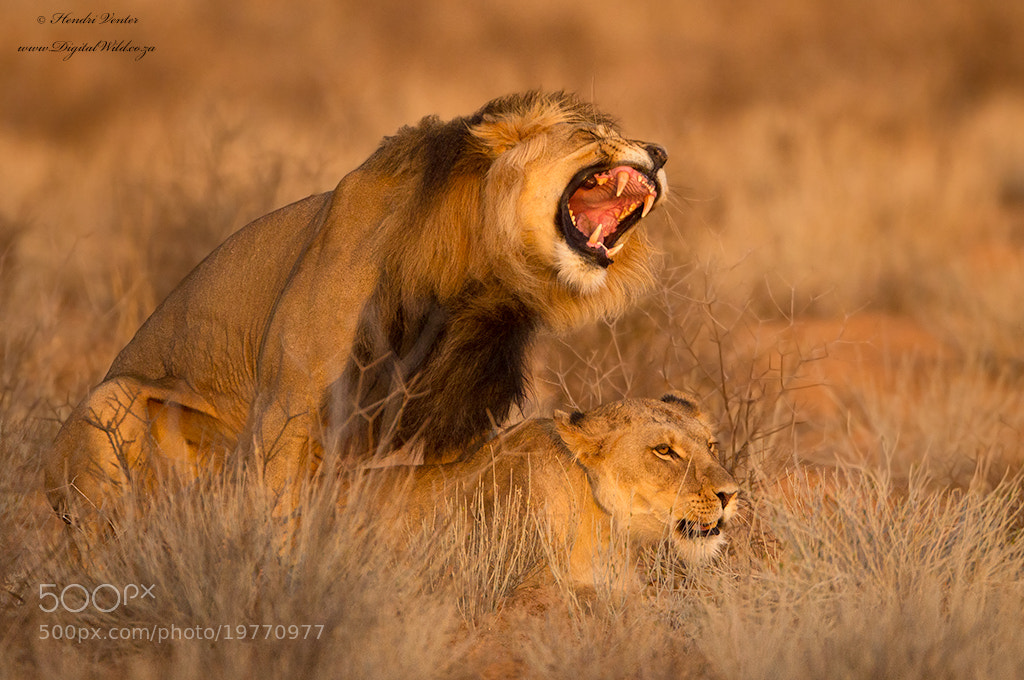 Photograph Golden Light Passion by Hendri Venter on 500px