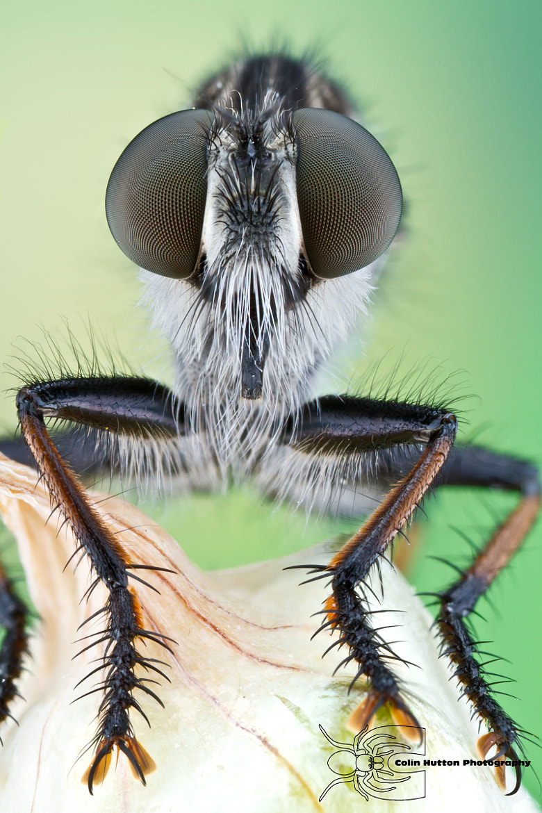 Photograph Robber fly by Colin Hutton on 500px