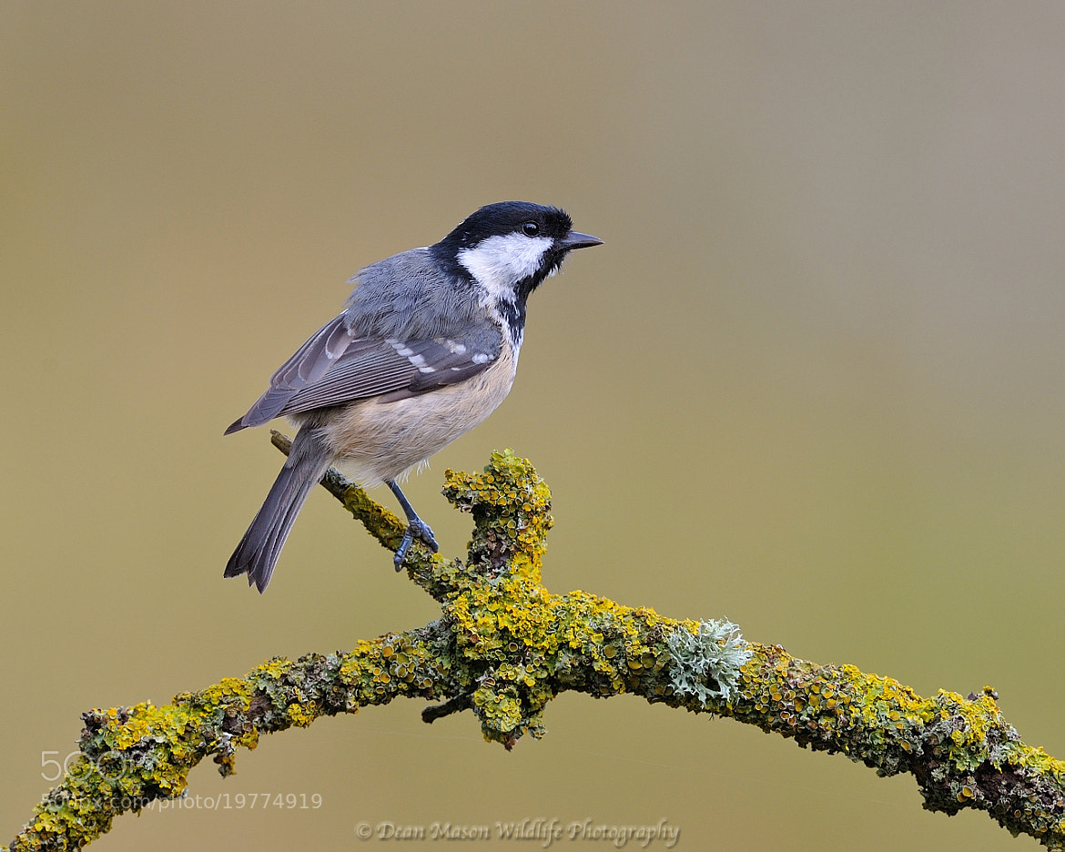 Photograph Coal Tit at Stretch ! by Dean Mason on 500px