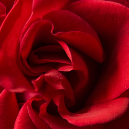 red rose, Canon EOS 450D, Canon EF 28-80mm f/3.5-5.6 USM