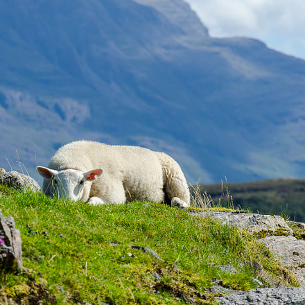 Relaxed Sheep, Nikon D7000, Sigma 18-125mm F3.8-5.6 DC OS HSM