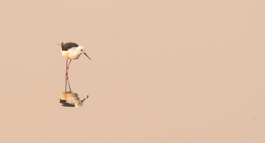 Black Winged Stilt by Abhisheak D on 500px.com