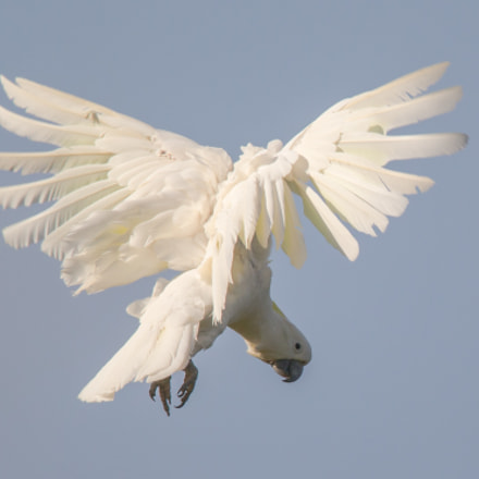 Sulpher Crested Cockatoo, Canon EOS-1D X, Canon EF 600mm f/4L IS + 1.4x