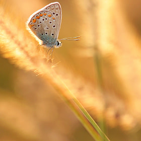 blue beauty in gold by Andreea Redacaju (redacaju)) on 500px.com