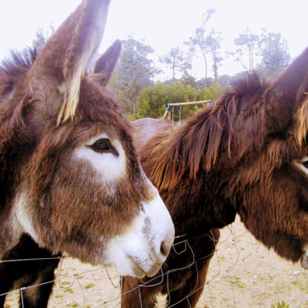 Two donkeys, Canon POWERSHOT S20