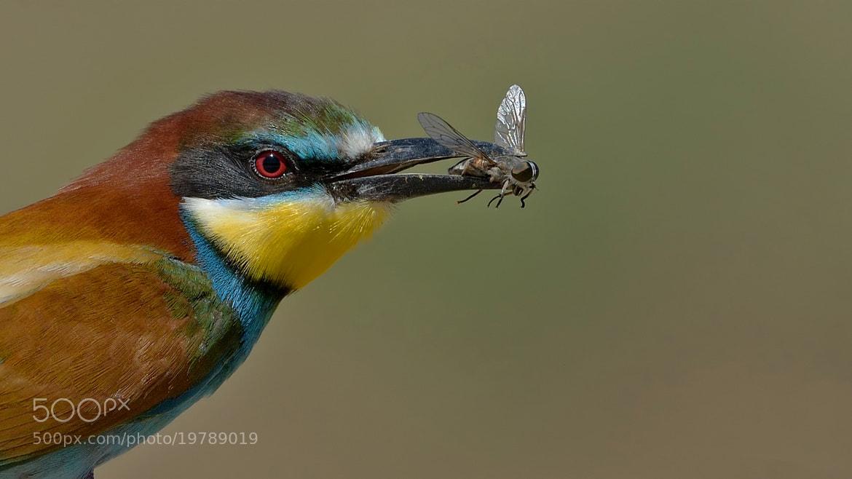 Photograph Bee-eater by Hakki Dogan on 500px