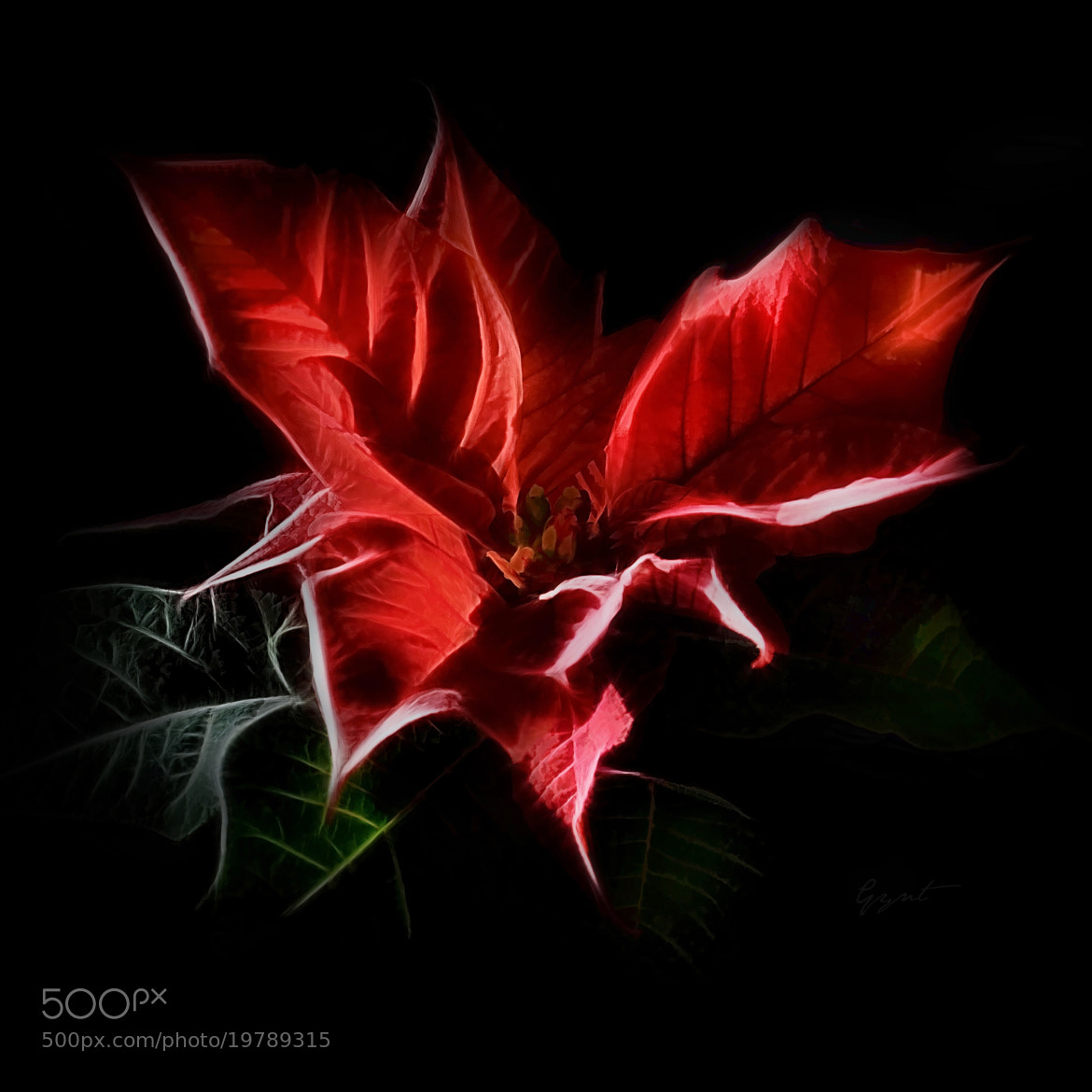 Photograph The Christmas Flower - Poinsettia by Gynt S on 500px
