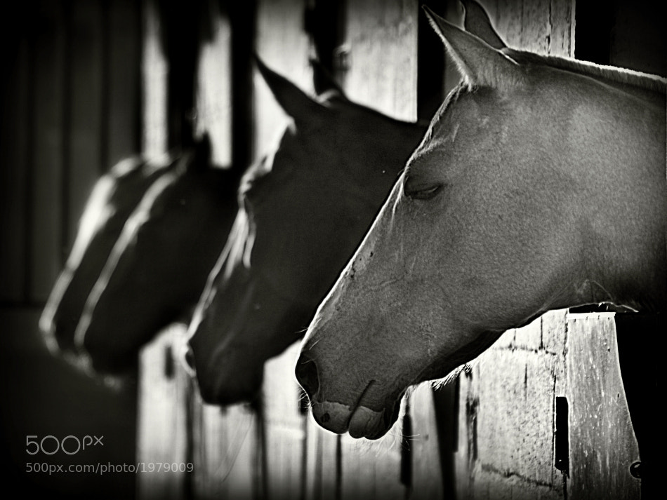 Photograph Noble horses by Diana  Duque  on 500px