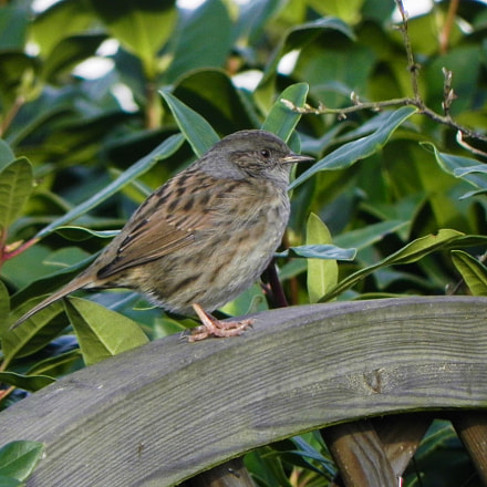 Little Dunnock, Nikon COOLPIX P100