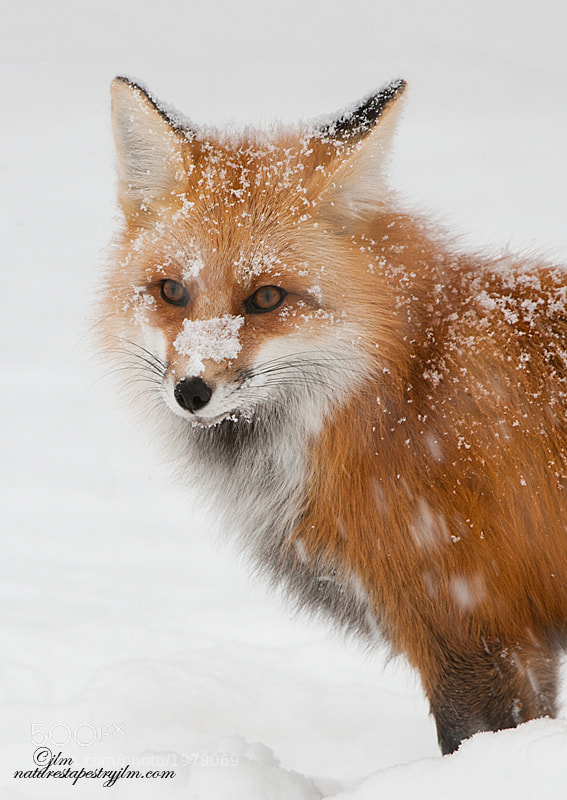 This is a portrait of one of the mountain foxes we photographed just outside of  Cody , Wyoming on the route to Yellowstone