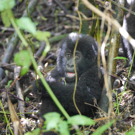 Wild Baby Mountain Gorilla, Panasonic DMC-GM5, Lumix G X Vario 35-100mm F2.8 Power OIS