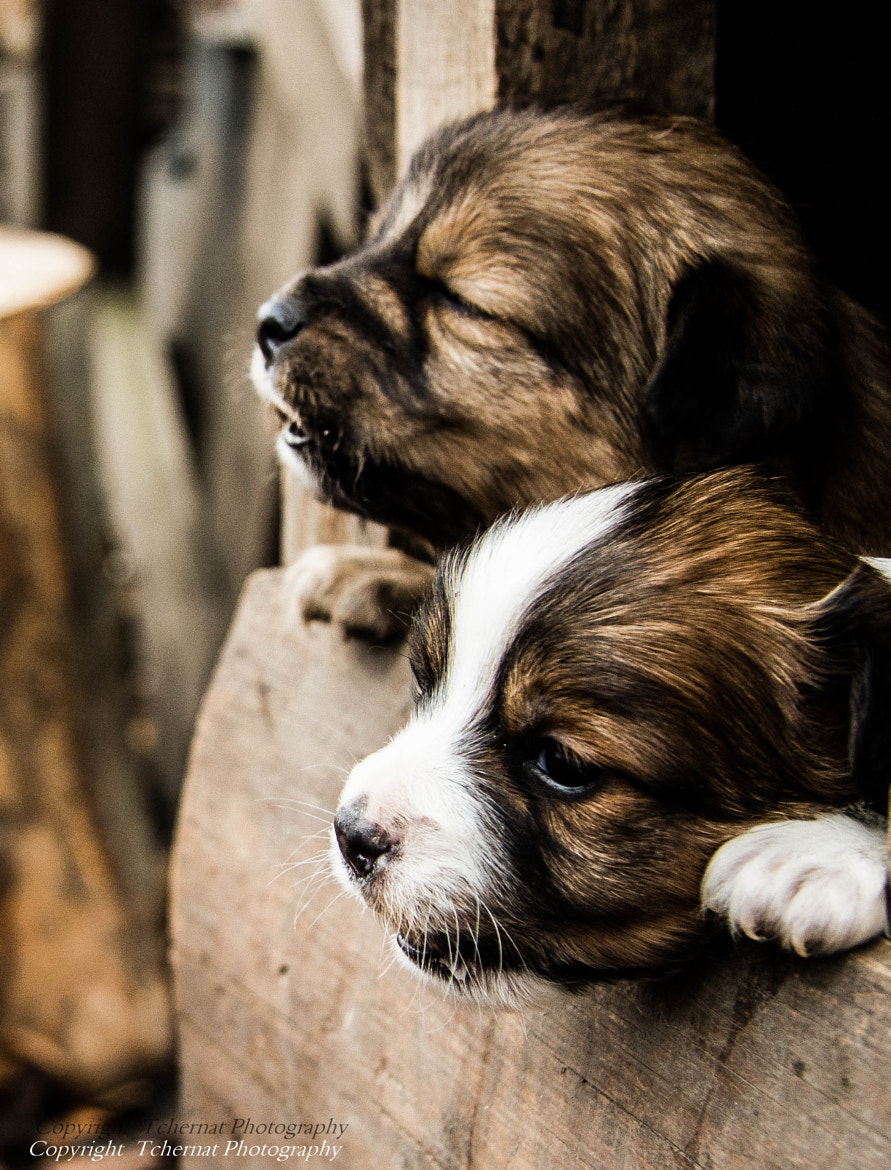 Photograph Puppies by Tchernat Photography on 500px