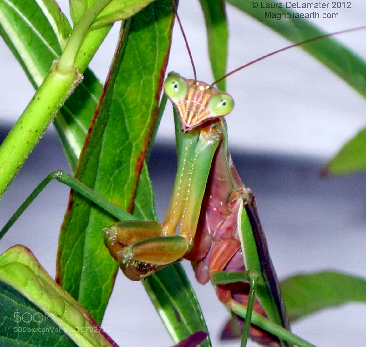 Photograph Mantis Friend by Laura DeLamater on 500px