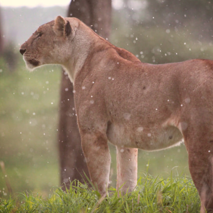A majestic lioness walking, Canon EOS REBEL T4I, Canon EF 100-400mm f/4.5-5.6L IS USM