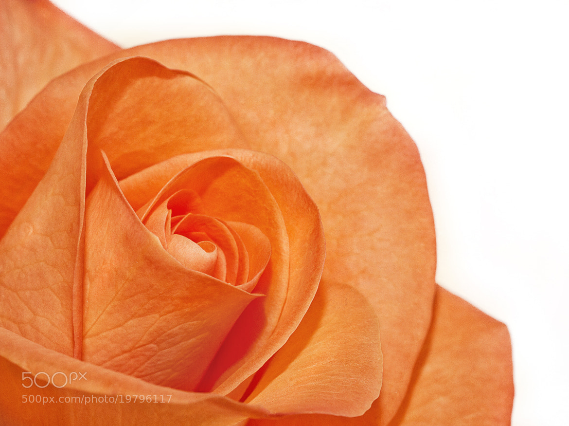 Photograph Inner Rose by Kim Andelkovic on 500px