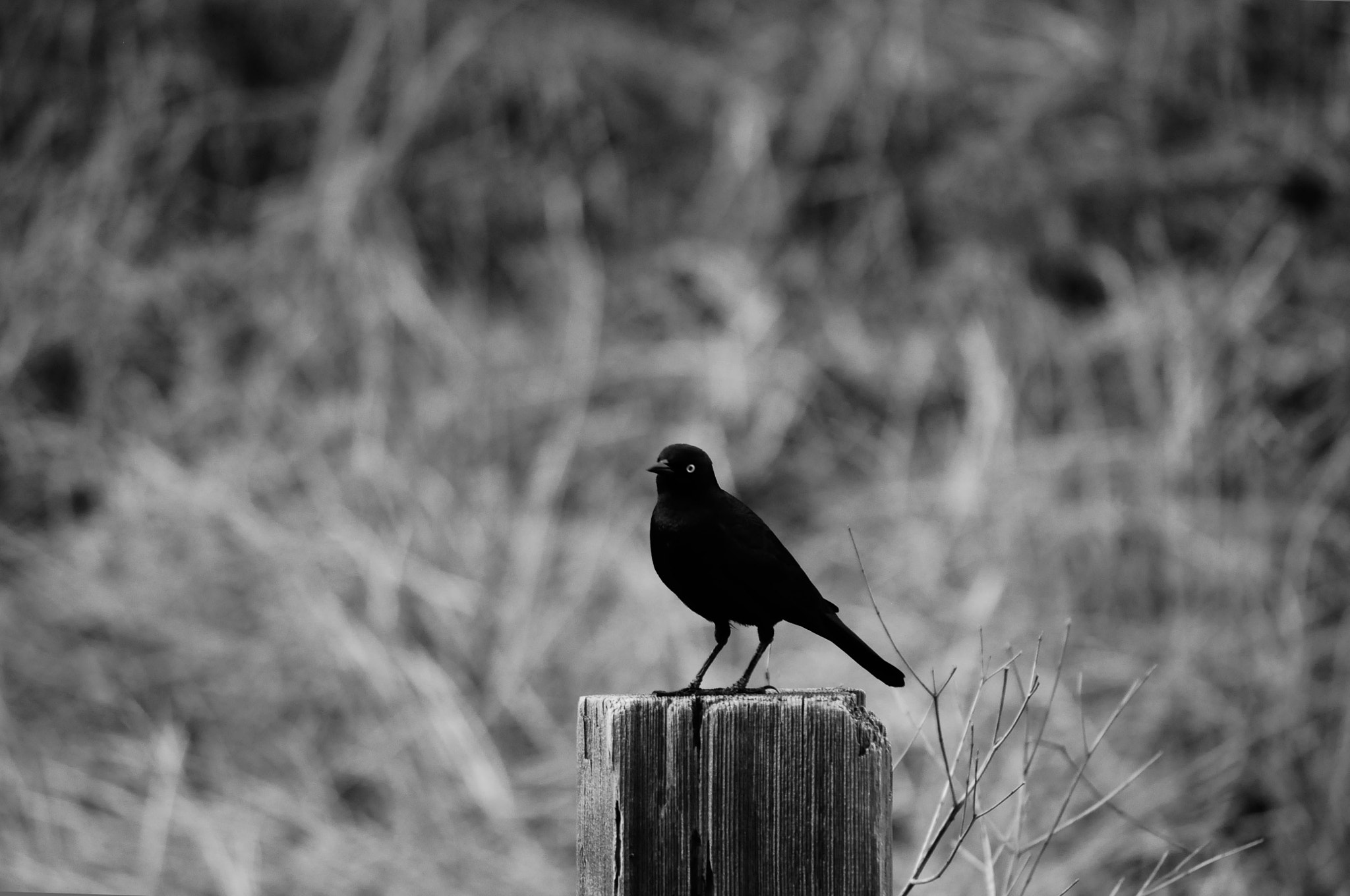 Photograph Black Bird by N Simpson on 500px