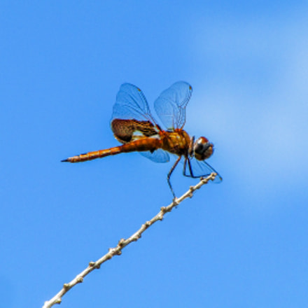Dragonfly, Canon POWERSHOT SX1 IS