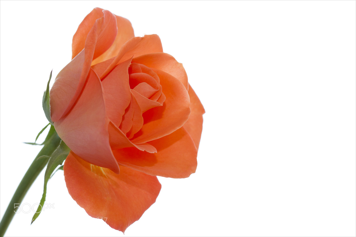 Photograph Peachy Rose by Kim Andelkovic on 500px