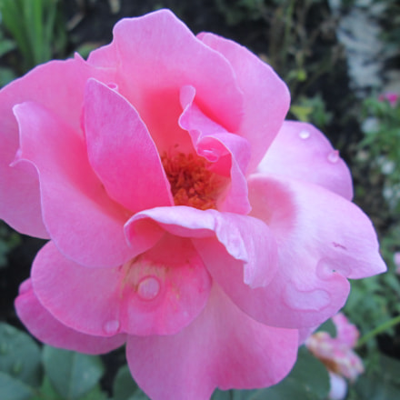 Pink rose, Canon POWERSHOT A3400 IS