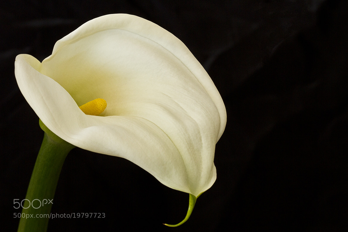 Photograph Trumpet Lily by Kim Andelkovic on 500px