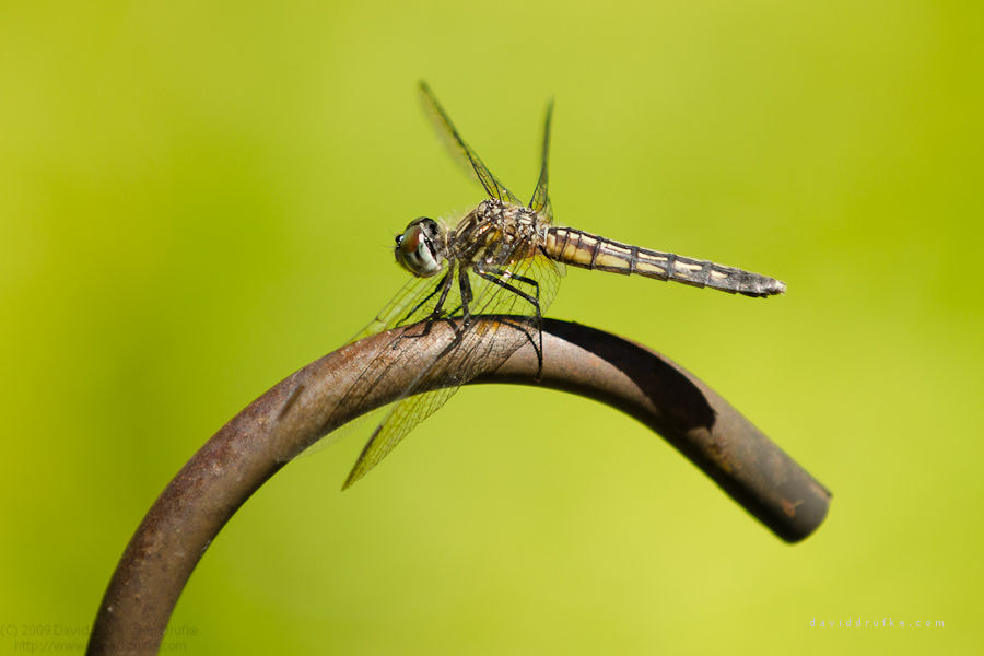 Photograph Dragonfly by David Drufke on 500px