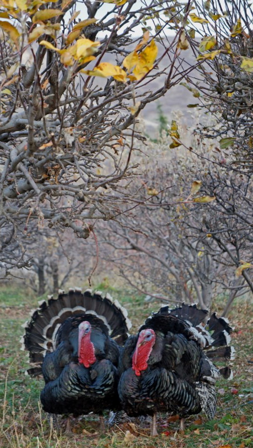 Photograph Gobblers by Brolin  Roney on 500px