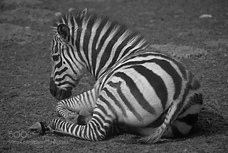 Photograph zebra's wild ass by cyberjani on 500px