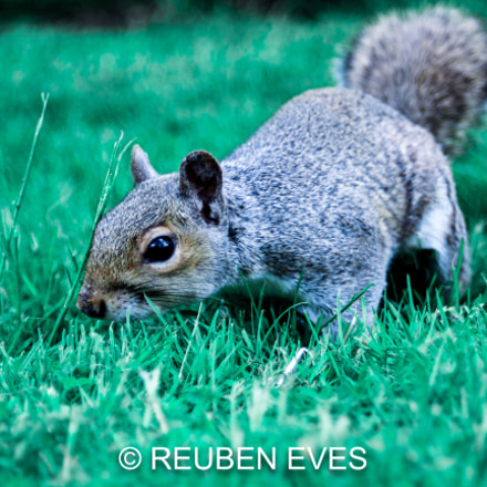 Grey Squirrel Searching for, Canon EOS 700D, Canon EF 35-70mm f/3.5-4.5A