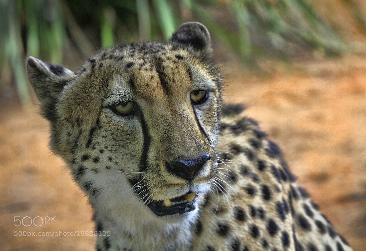 Photograph Cheetah by Kim Andelkovic on 500px