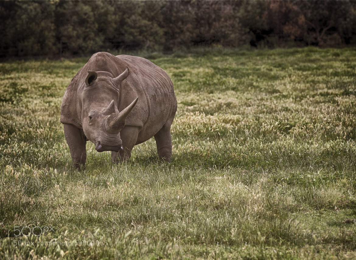 Photograph Rhino on Guard by Kim Andelkovic on 500px