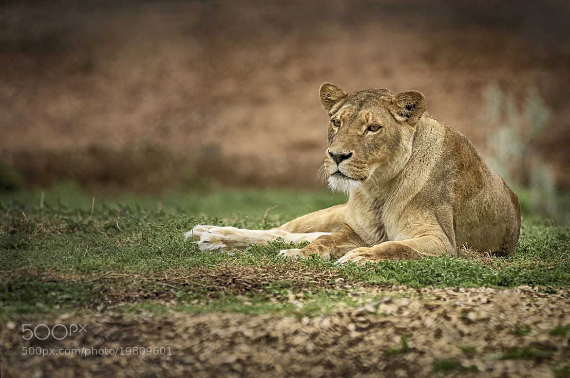 Photograph Lioness by Kim Andelkovic on 500px