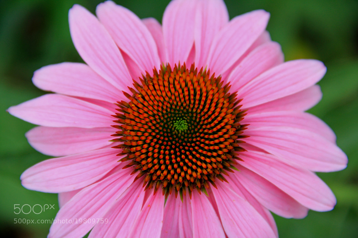 Photograph Echinacea flower by Parker Jackson on 500px
