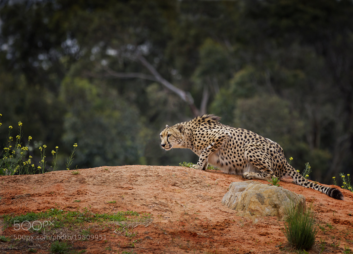 Photograph Ready to Pounce by Kim Andelkovic on 500px