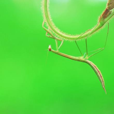praying Mantis., Nikon D60, Tamron SP AF 90mm f/2.8 Di Macro 1:1 (272NII)