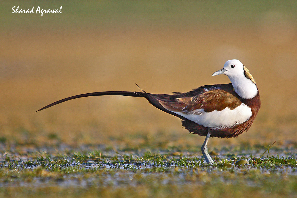Photograph Phesant Tailed Jacana  by Sharad Agrawal on 500px