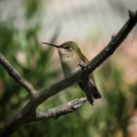A cute little hummer..., Canon EOS 7D, Canon EF 100-400mm f/4.5-5.6L IS USM