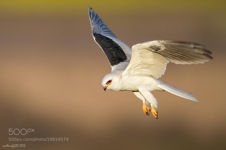 Photograph White-tailed Kite by Phoo (mallardg500) Chan on 500px