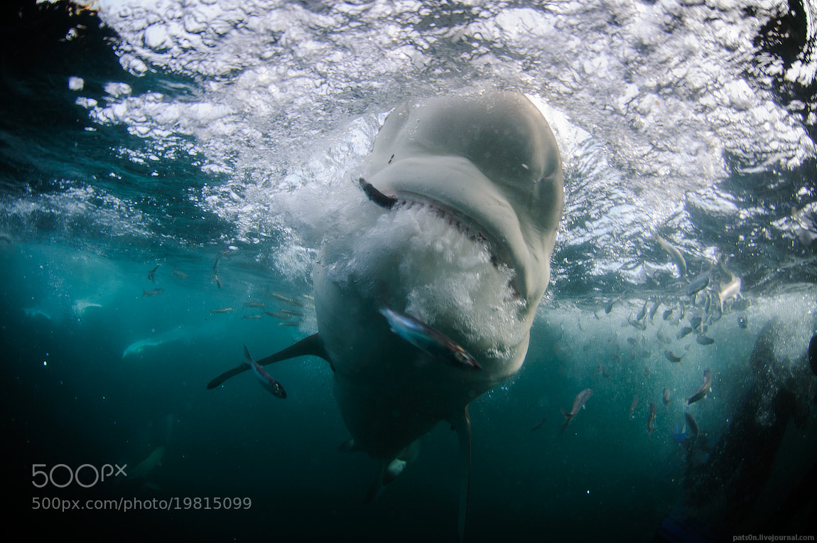 Photograph shark attack by Alexander Safonov on 500px