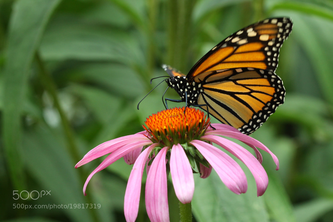 Photograph Monarch On An Echinacea by Kenneth  Maurer on 500px