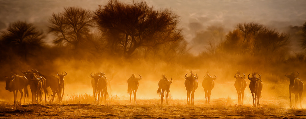 Photograph wildebeest by Alexander Heinrichs on 500px